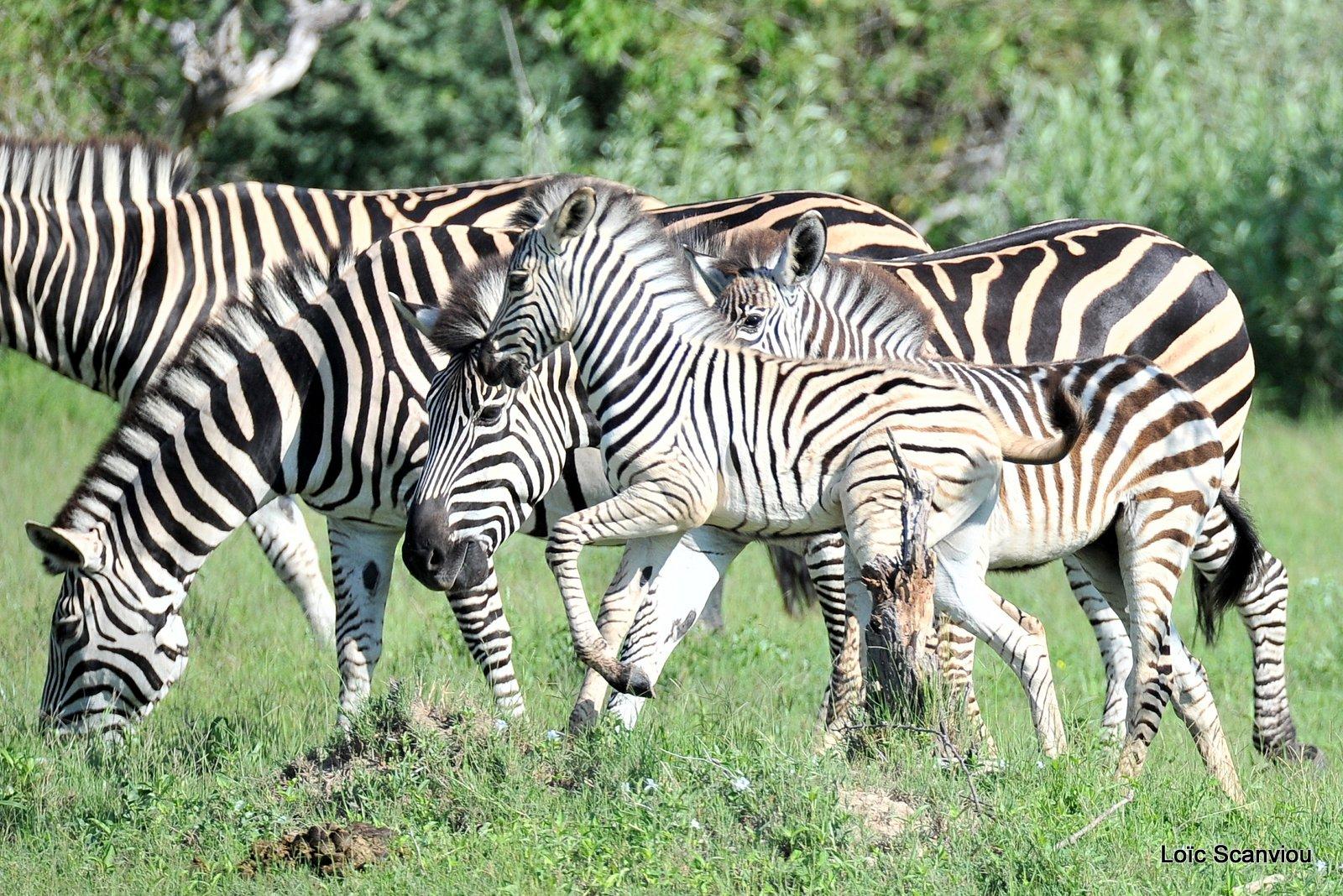 Zèbres/Zebras (5)