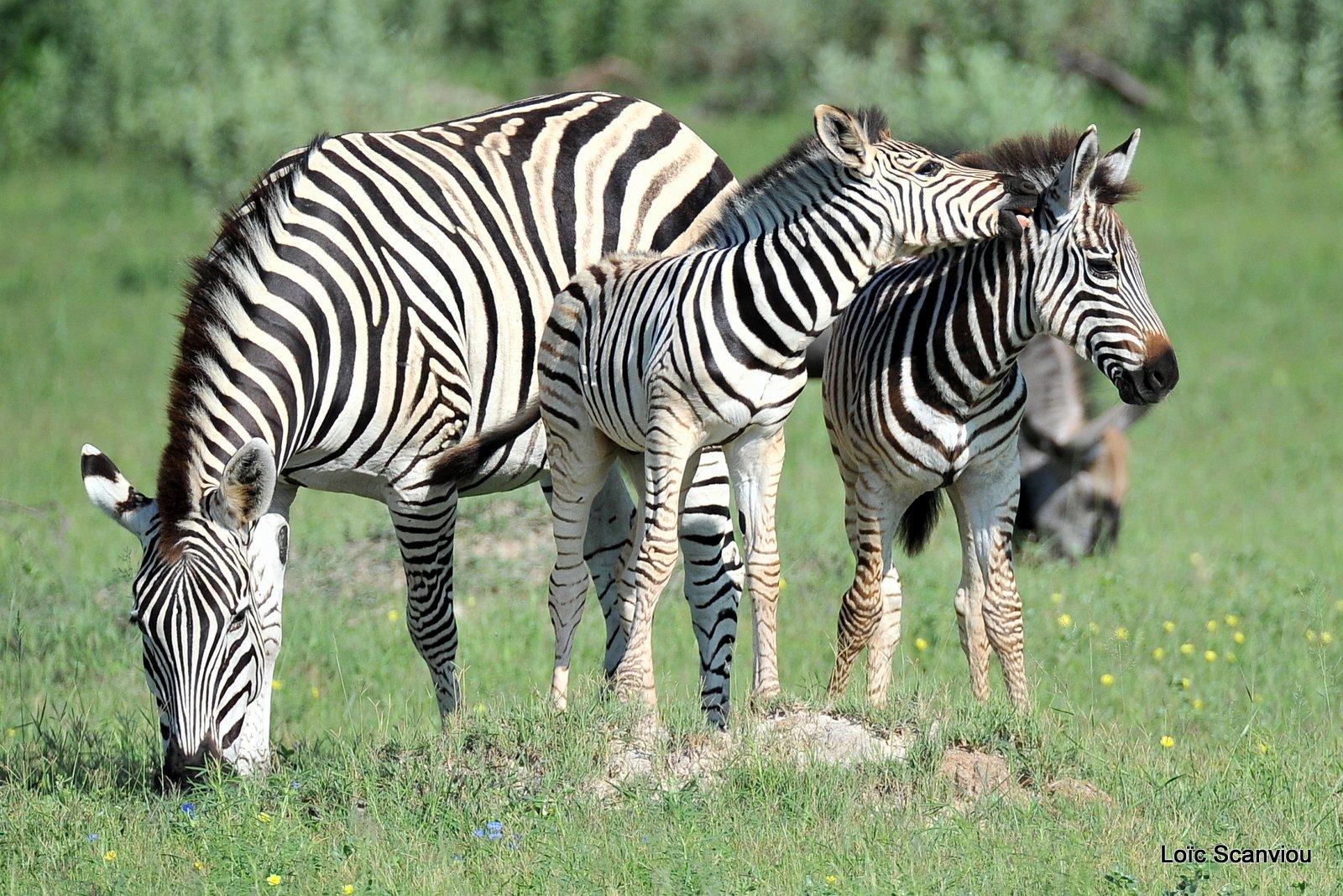 Zèbres/Zebras (6)