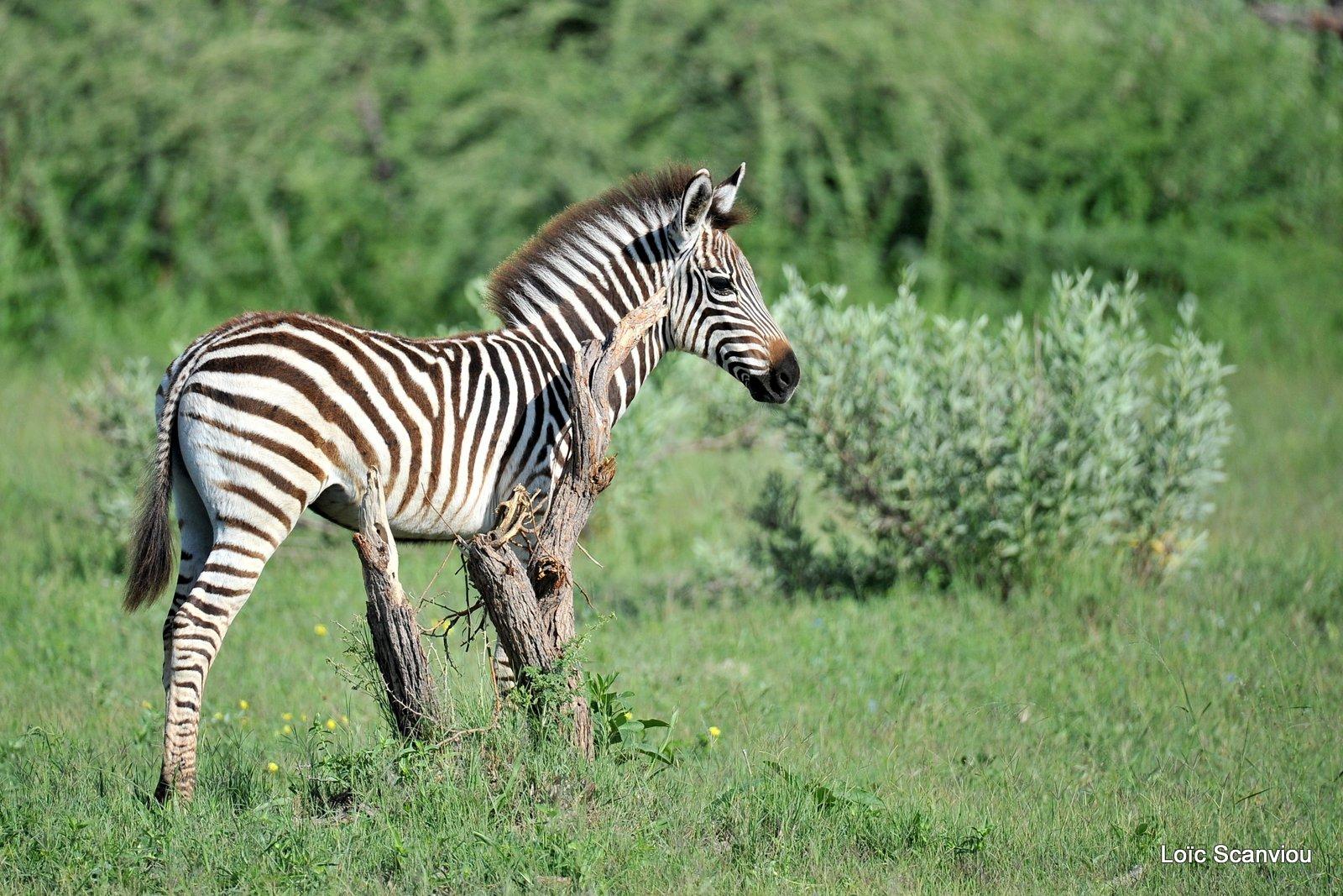 Zèbres/Zebras (7)
