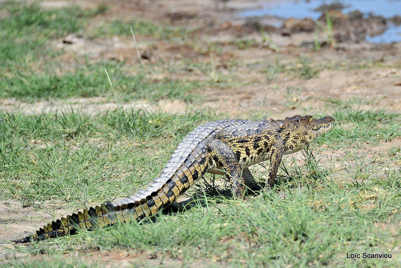 Crocodile du Nil/Nile Crocodile (1)