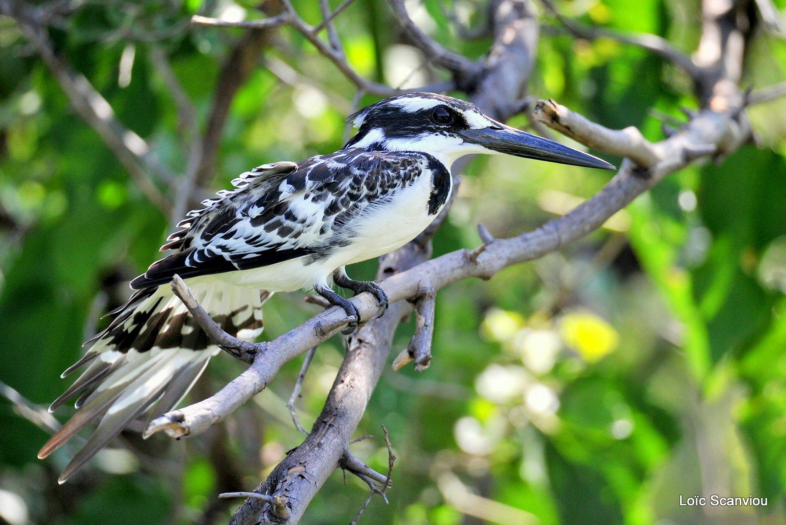 Martin-pêcheur pie/Pied Kingfisher (1)