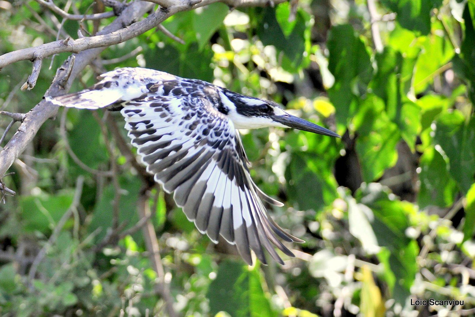 Martin-pêcheur pie/Pied Kingfisher (3)