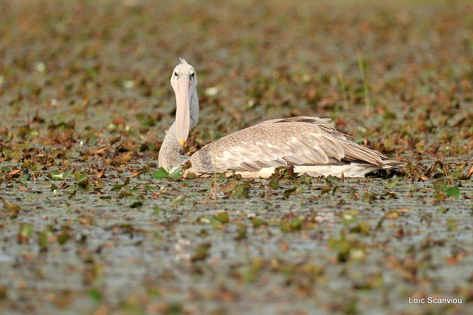 Pélican gris/Pink-backed Pelican (1)