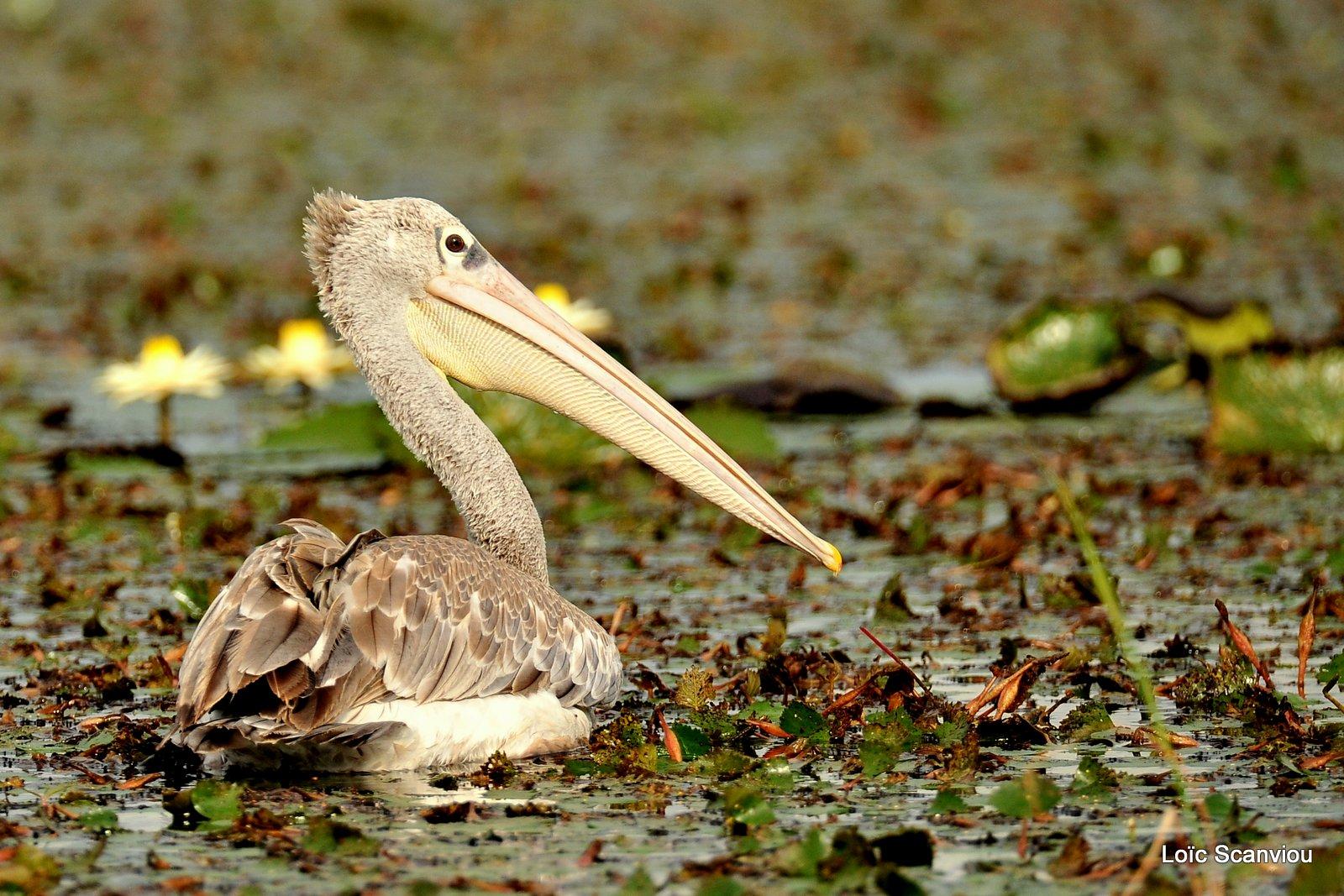 Pélican gris/Pink-backed Pelican (2)