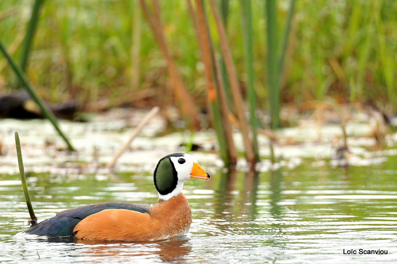 Anserelle naine/African Pygmy Goose (1)