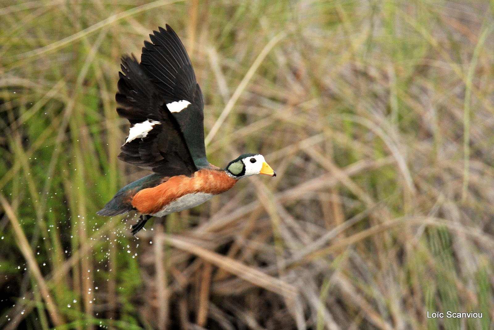 Anserelle naine/African Pygmy Goose (4)