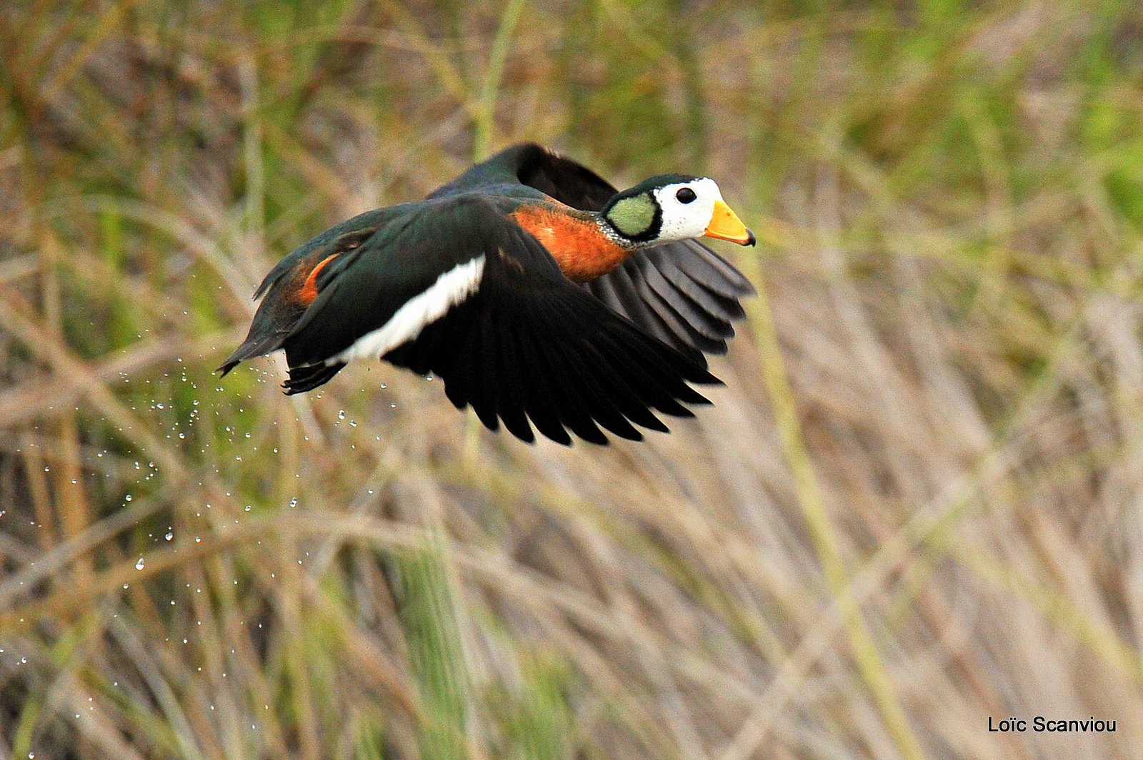 Anserelle naine/African Pygmy Goose (5)