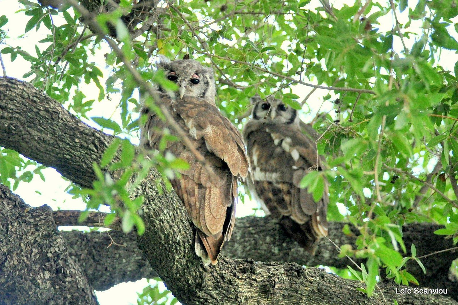 Grand-duc de Verreaux/Verreaux's Eagle-Owl (1)