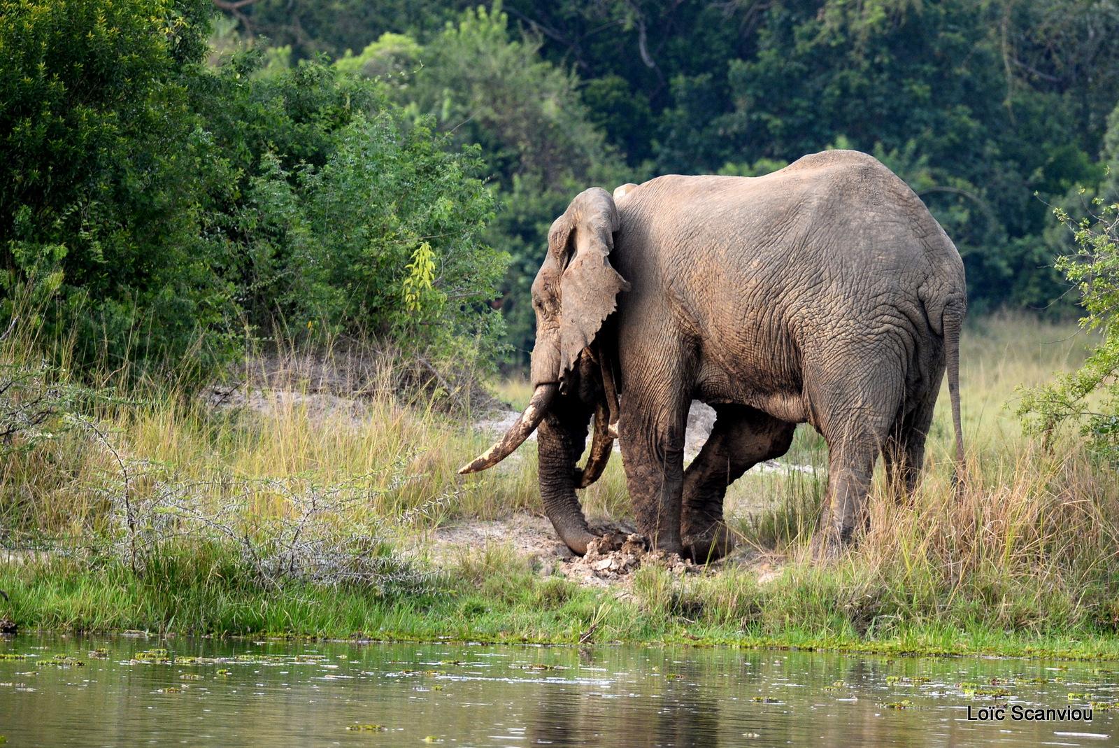 Éléphant de savane d'Afrique/Savanna Elephant (22)