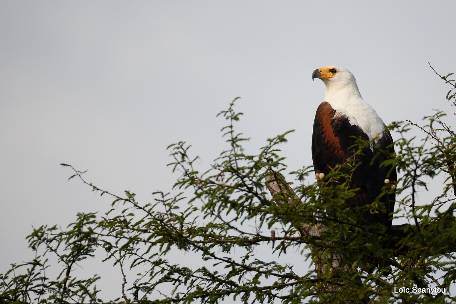 Aigle vocifère/African Fish Eagle (1)