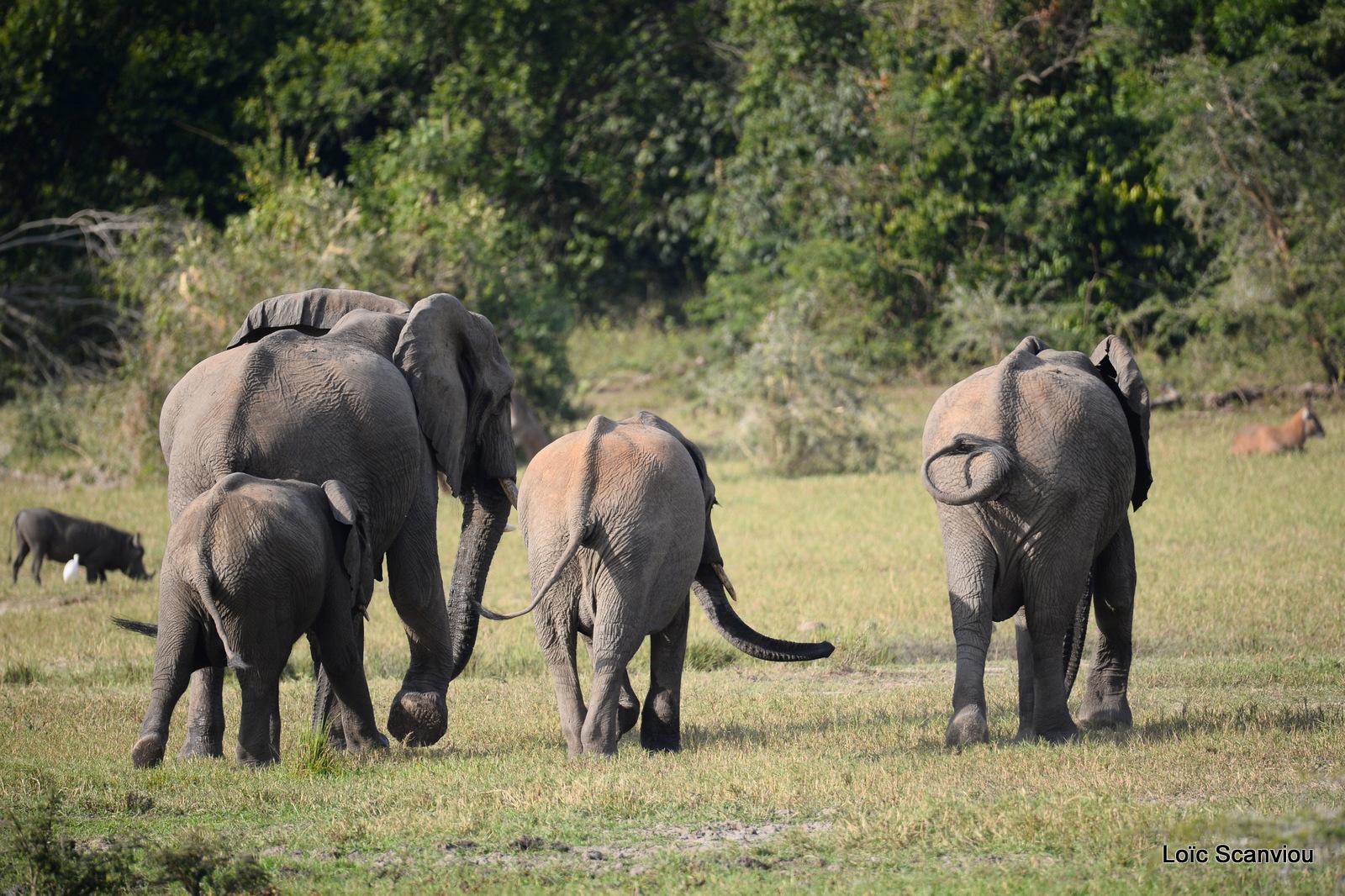 Éléphant de savane d'Afrique/Savanna Elephant (23)