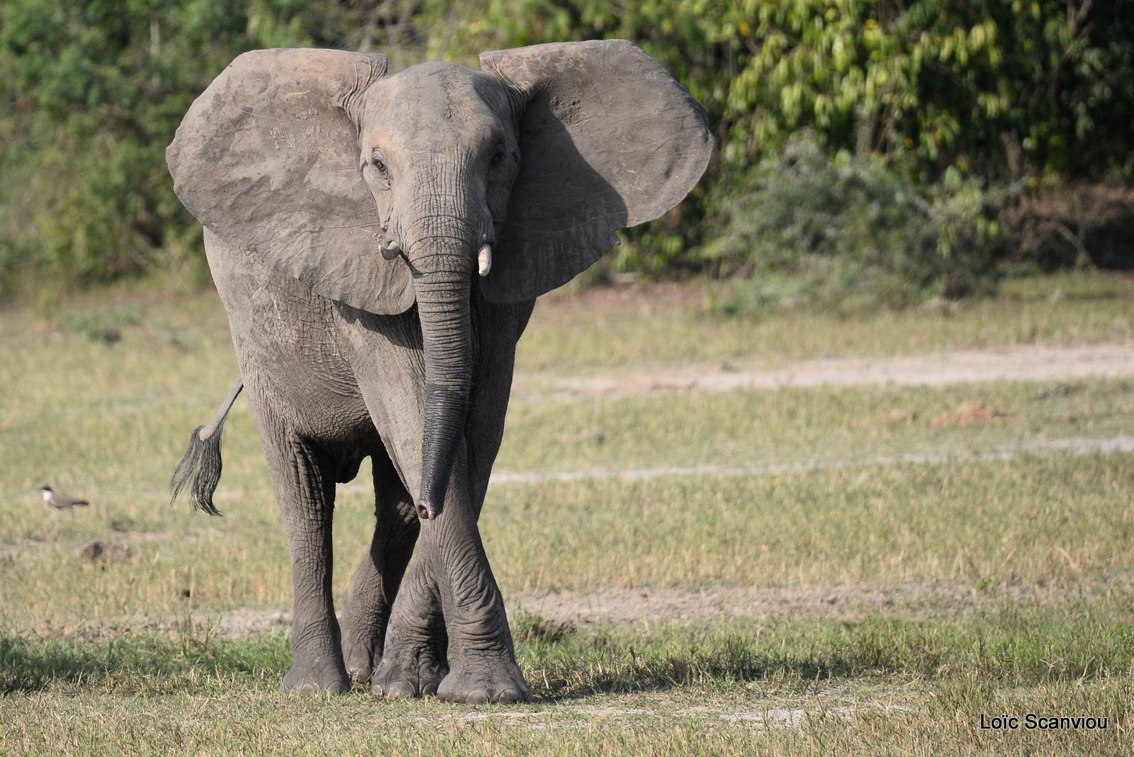 Éléphant de savane d'Afrique/Savanna Elephant (24)