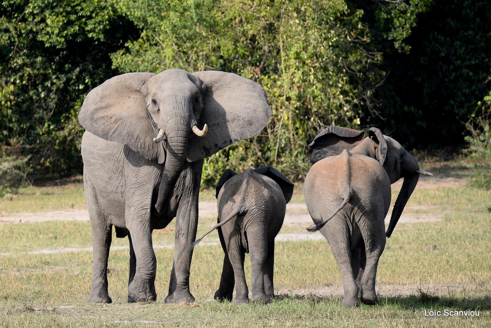 Éléphant de savane d'Afrique/Savanna Elephant (25)