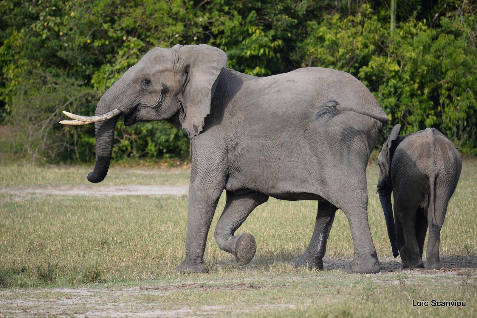 Éléphant de savane d'Afrique/Savanna Elephant (26)