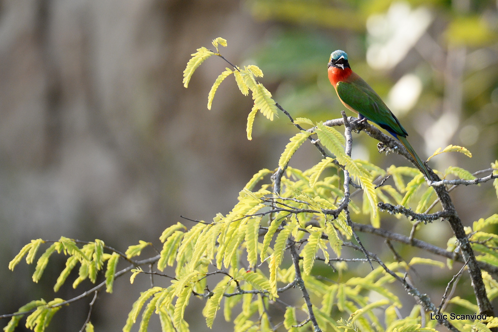 Guêpier à gorge rouge/Red-throated Bee-eater (3)