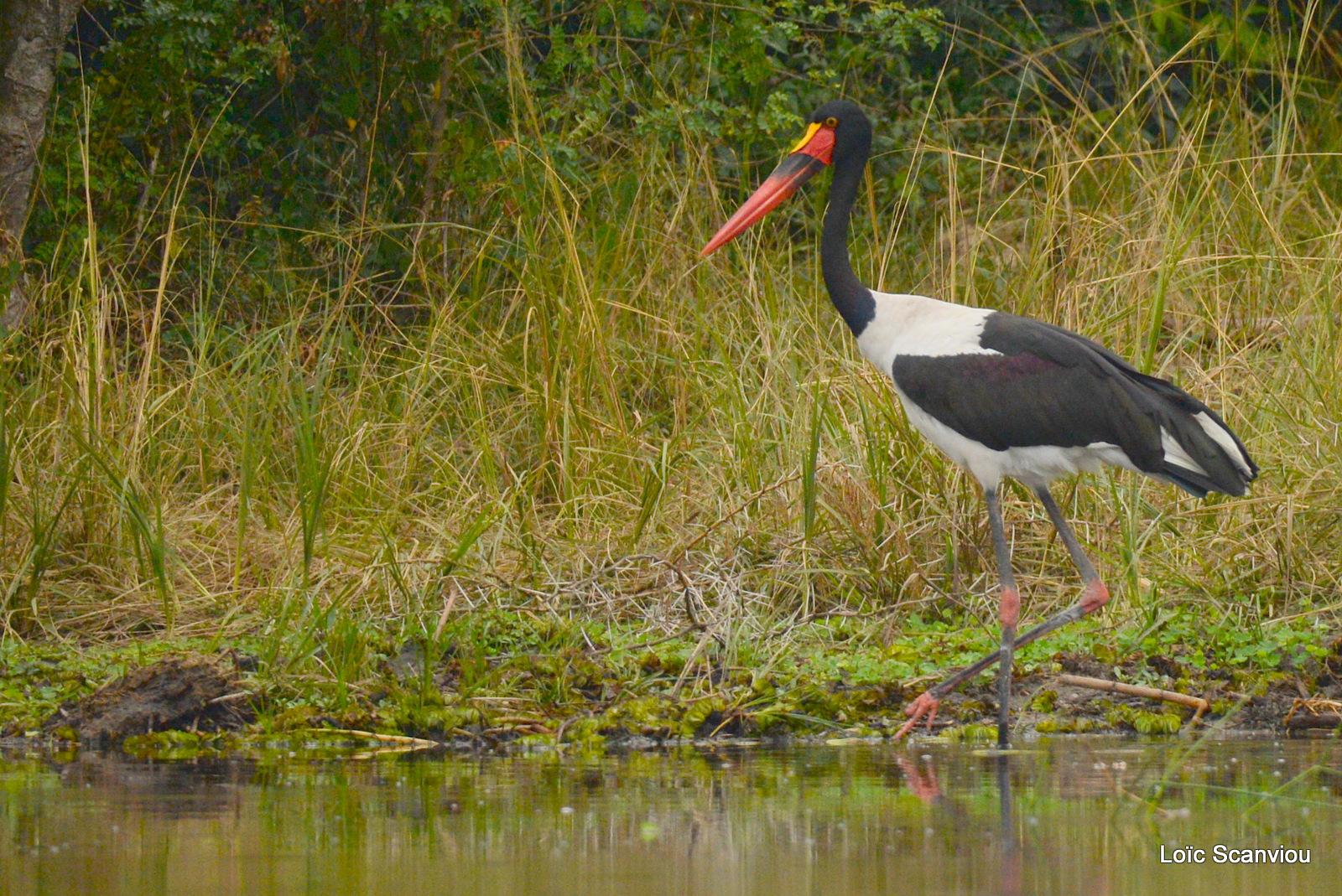 Jabiru d'Afrique/Saddle-billed Stork (1)