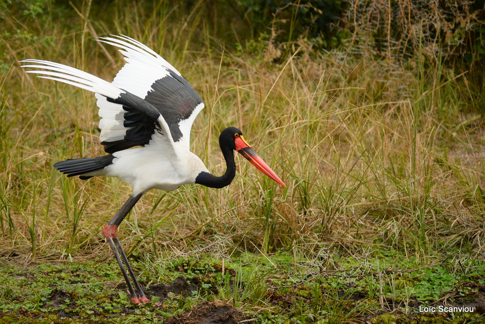 Jabiru d'Afrique/Saddle-billed Stork (3)