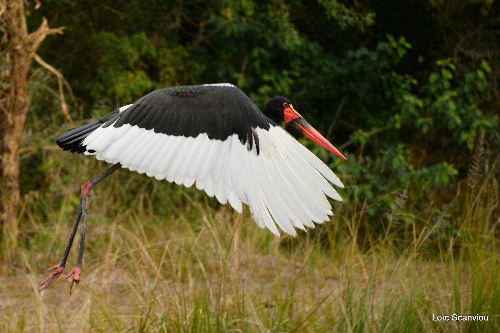 Jabiru d'Afrique/Saddle-billed Stork (4)