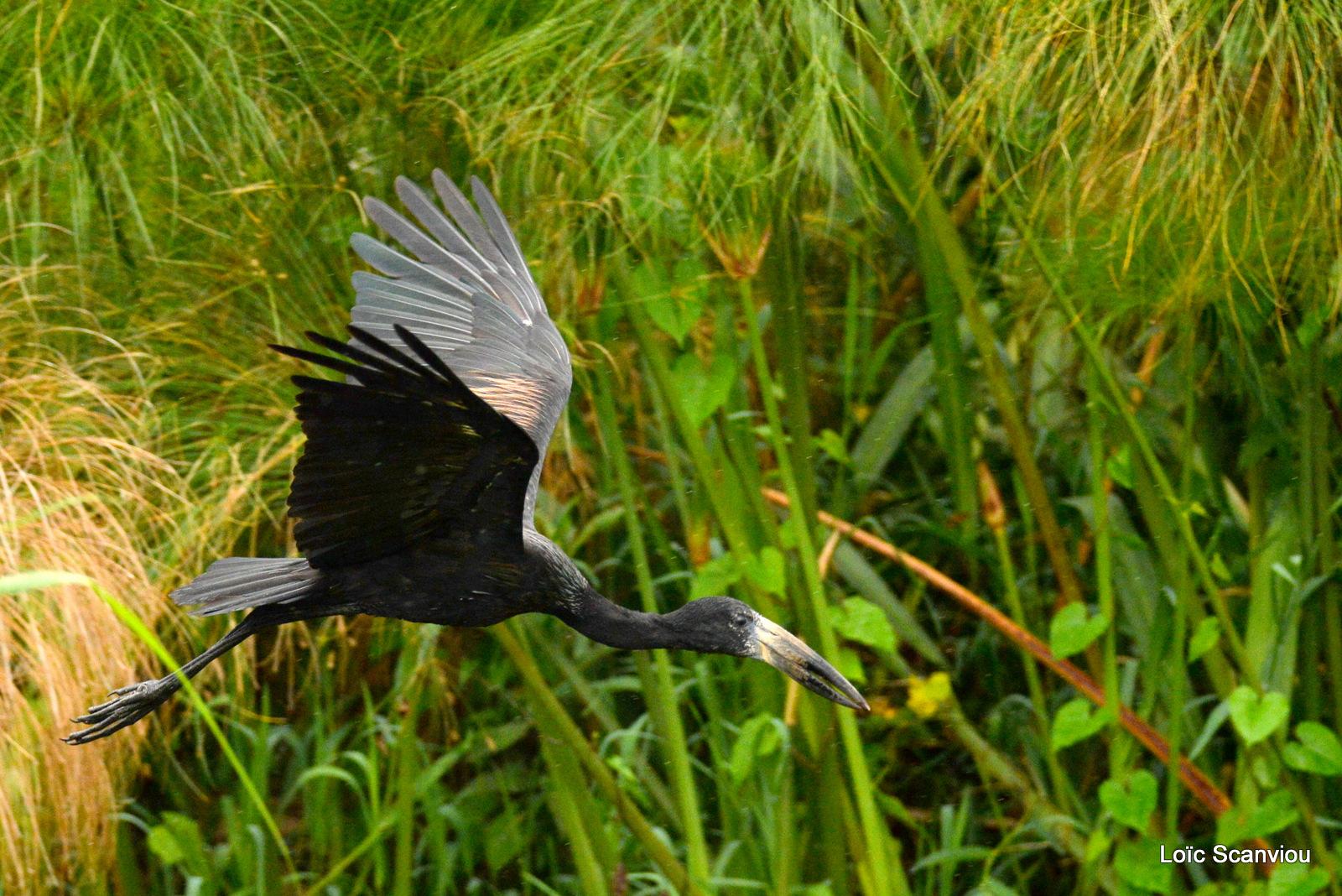 Bec-ouvert africain/African open-billed Stork (1)
