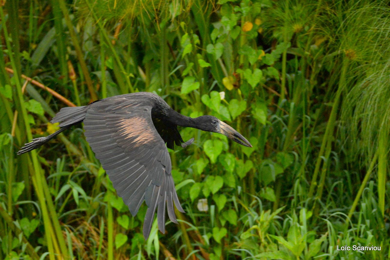 Bec-ouvert africain/African open-billed Stork (2)