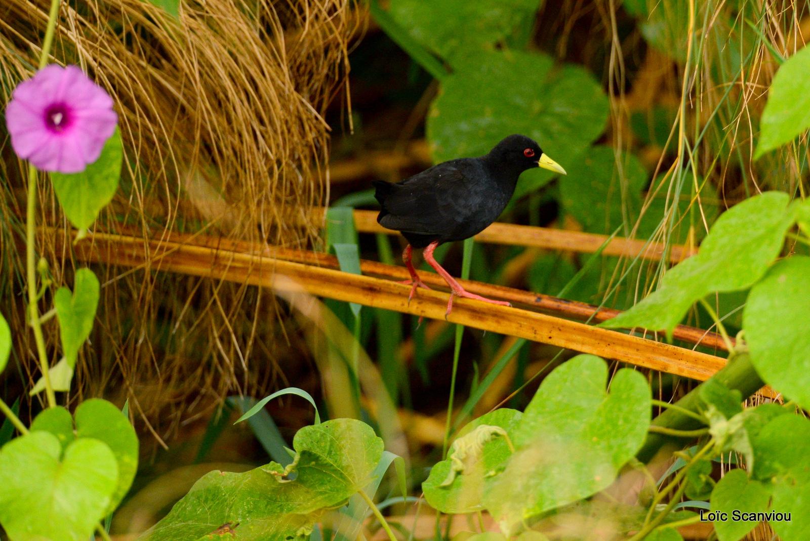 Râle à bec jaune/Black Crake (1)