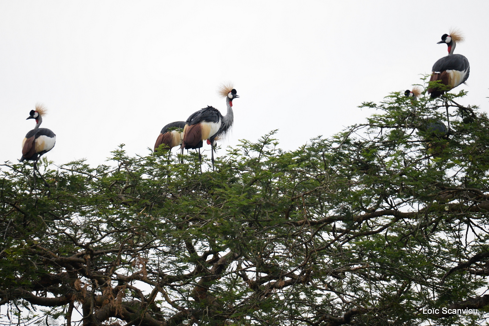 Grue royale/Grey-crowned Crane (2)