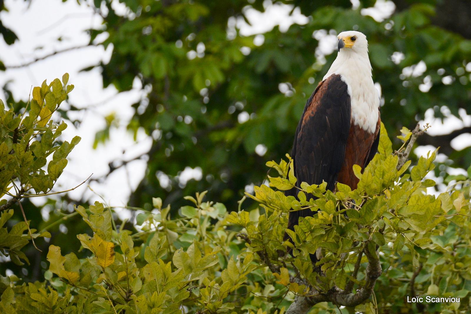 Aigle vocifère/African Fish Eagle (3)