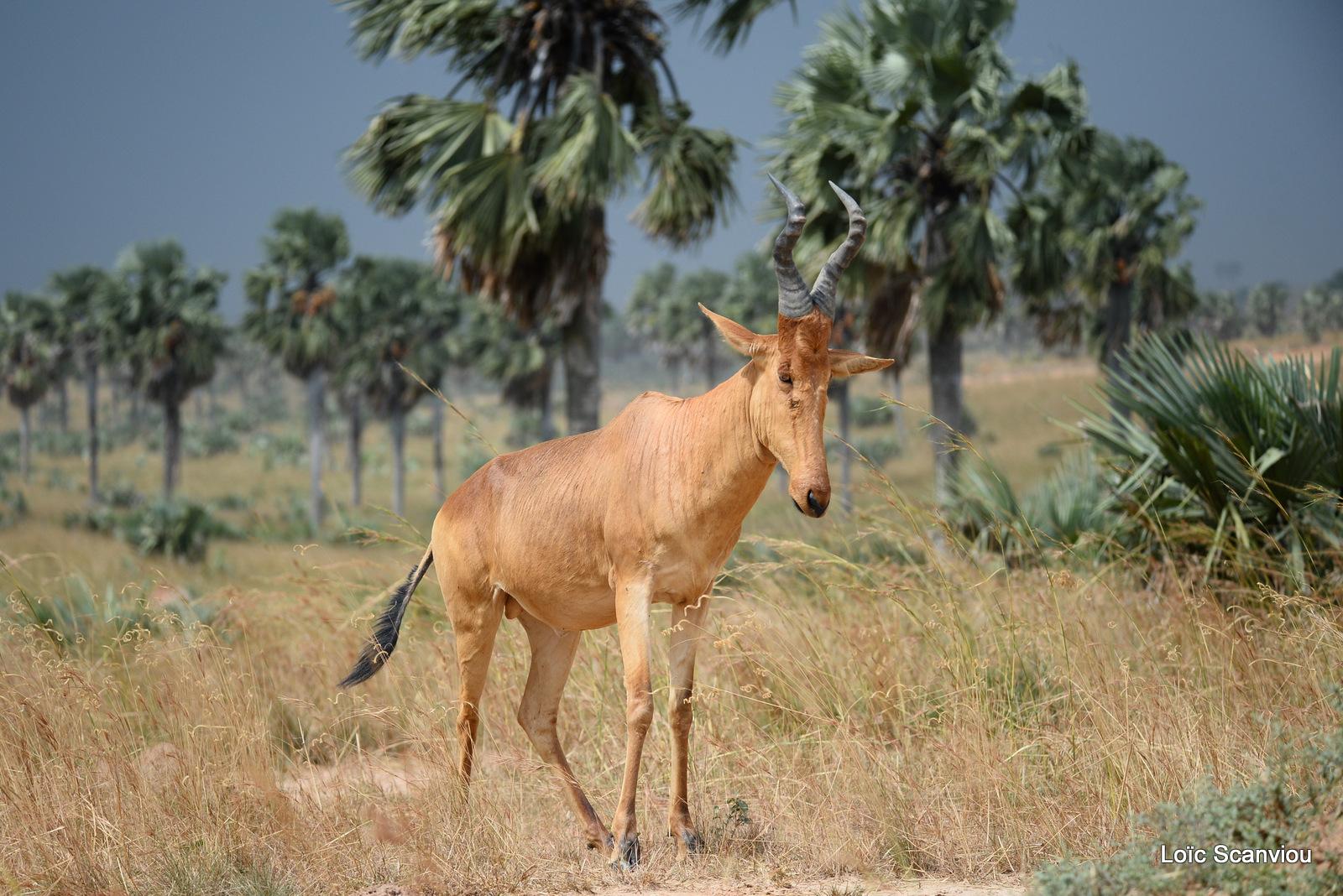 Bubale de Jacson/Jackson's Hartebeest (5)