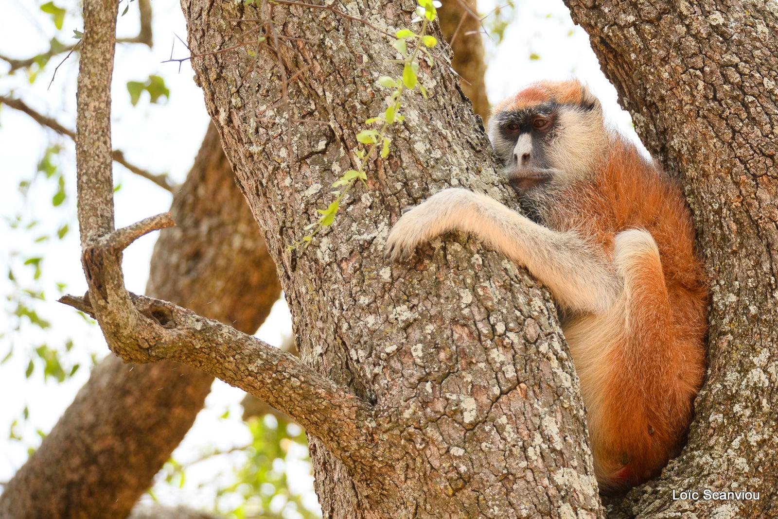 Patas/Patas Monkey (3)