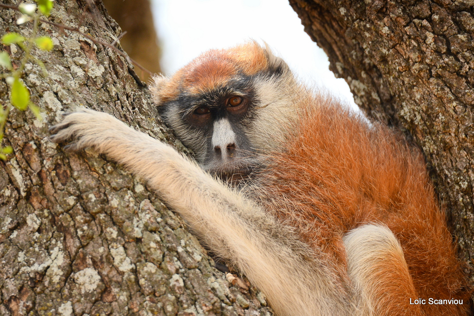 Patas/Patas Monkey (4)