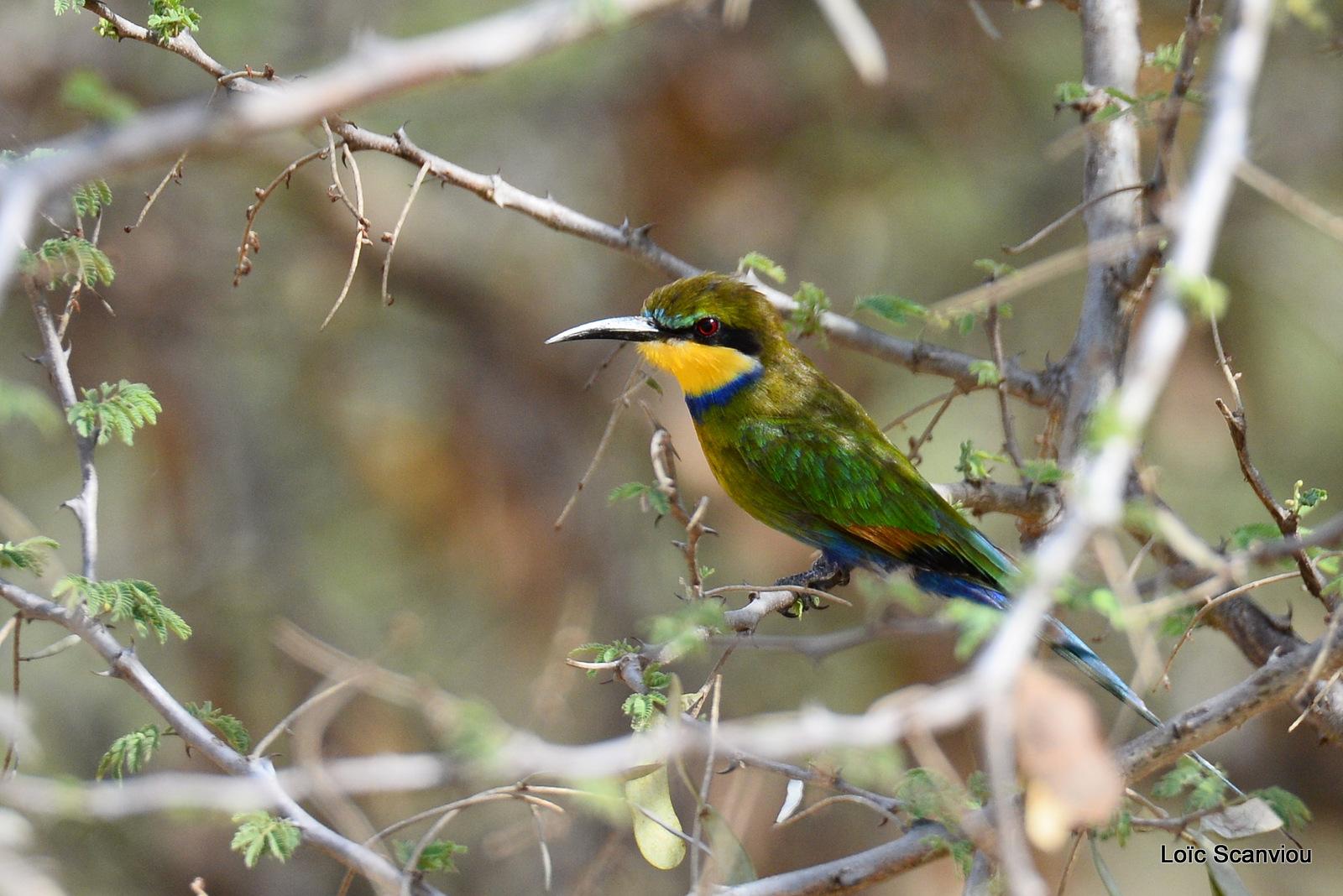 Guêpier à queue d'aronde/Swallow-tailed Bee-eater (2)