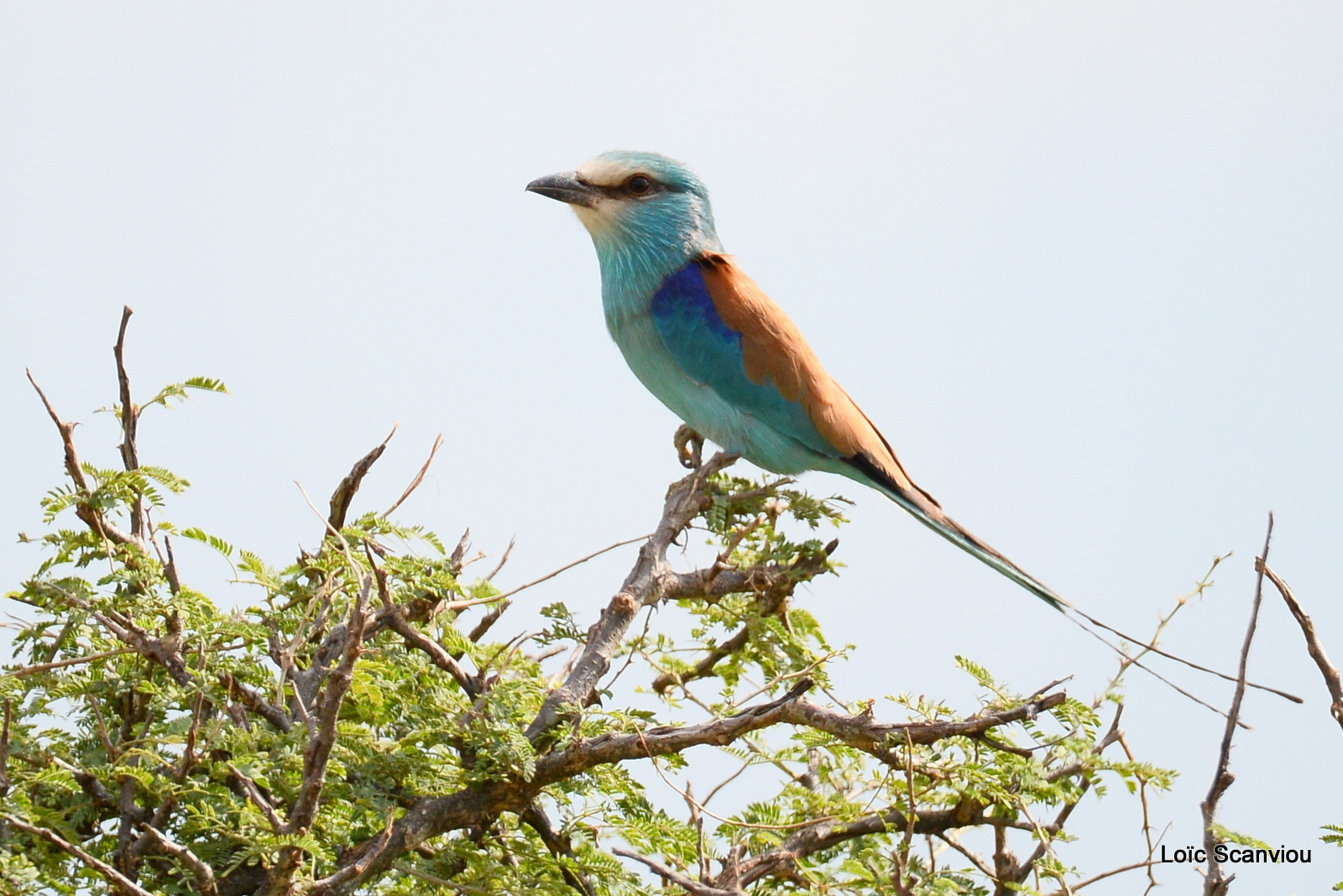 Rollier d'Abyssinie/Abyssinian Roller (1)