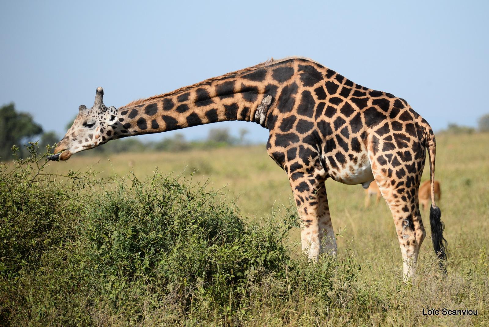 Girafe de Rothschild/Rothschild's Giraffe (13)