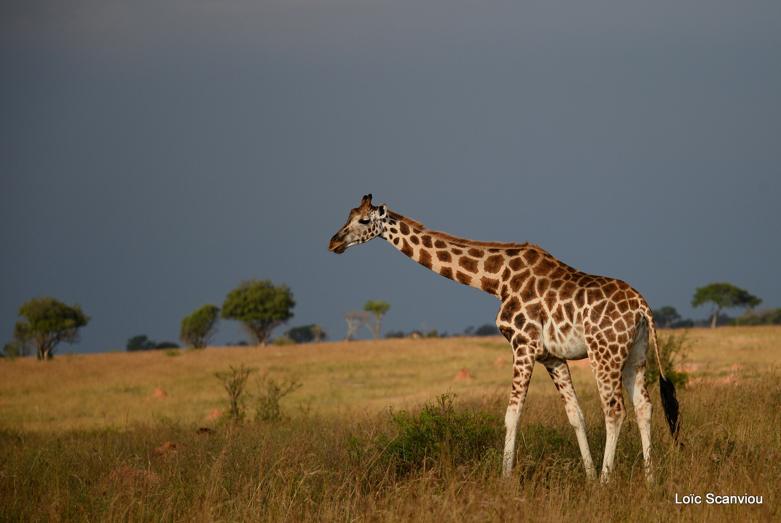 Girafe de Rothschild/Rothschild's Giraffe (14)