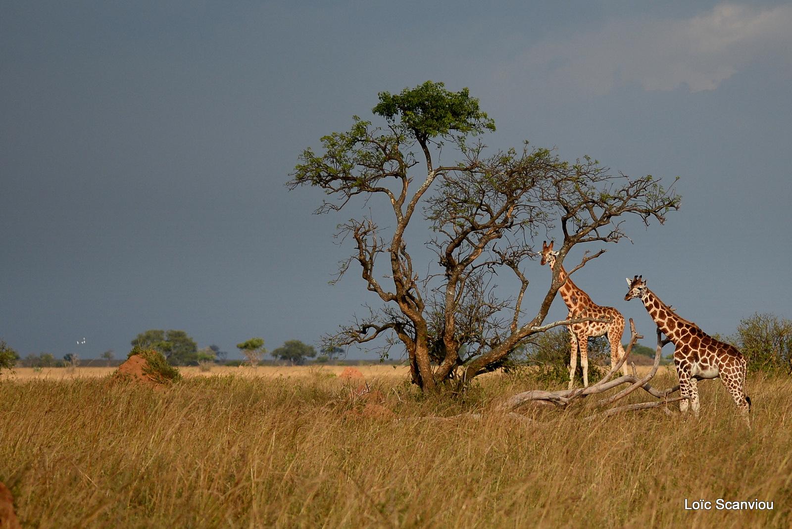 Girafe de Rothschild/Rothschild's Giraffe (15)