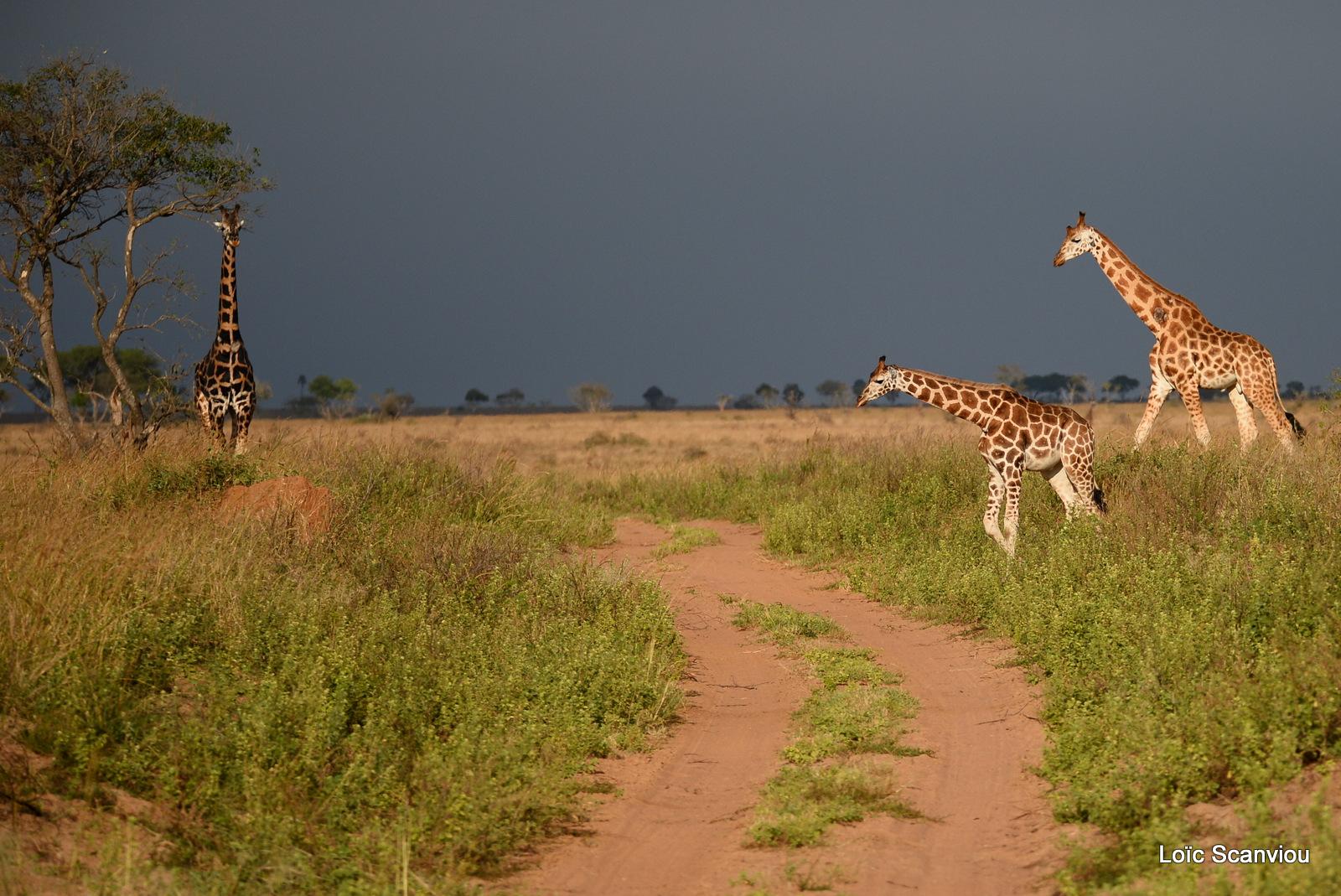 Girafe de Rothschild/Rothschild's Giraffe (16)