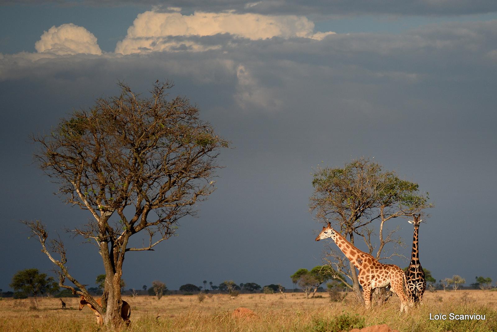 Girafe de Rothschild/Rothschild's Giraffe (17)