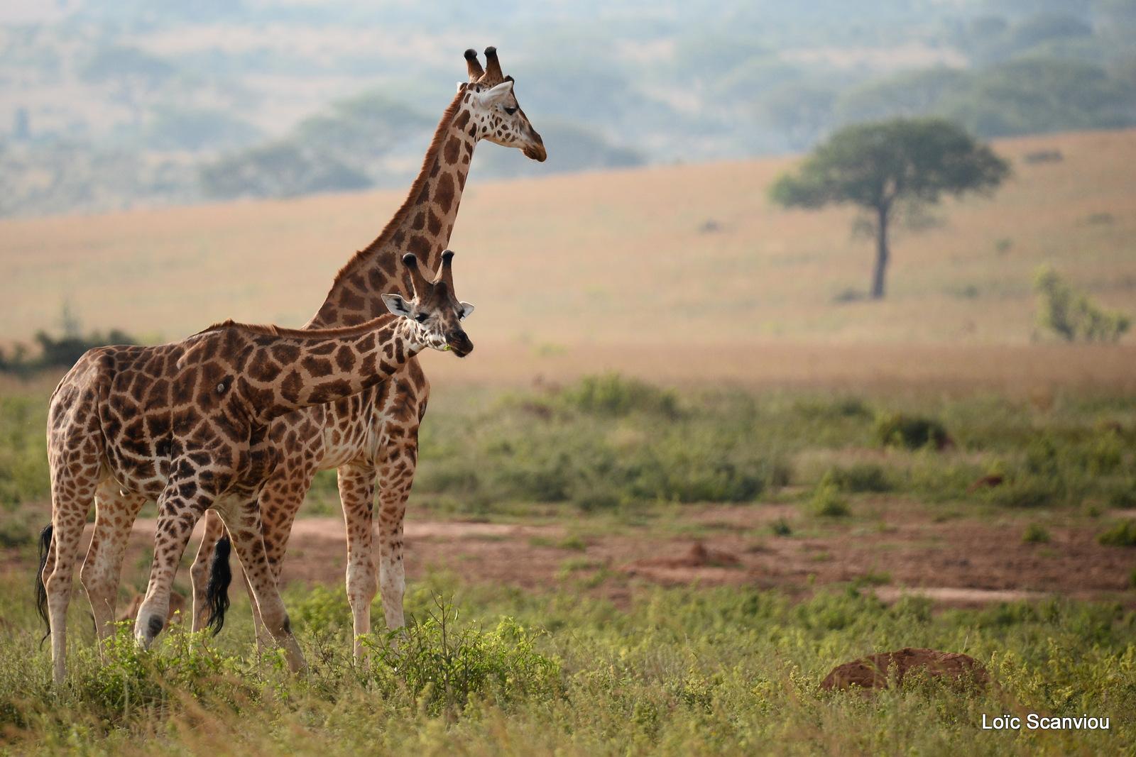 Girafe de Rothschild/Rothschild's Giraffe (18)