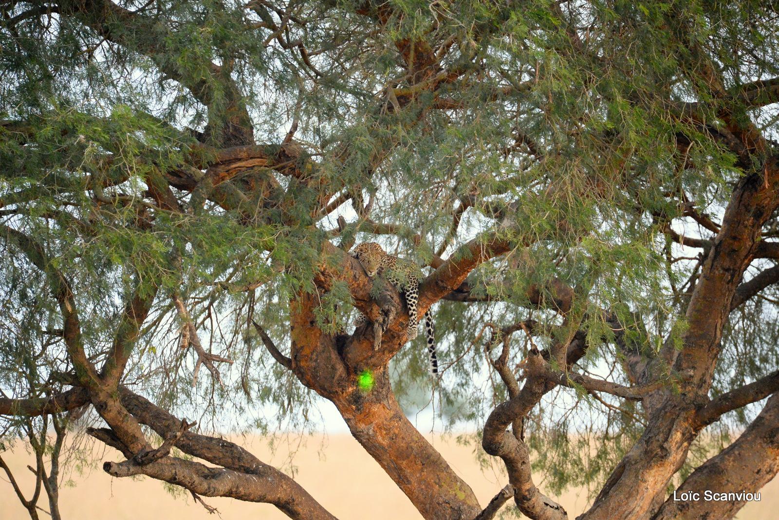 Léopard dans un arbre/Leopard on a tree (1)