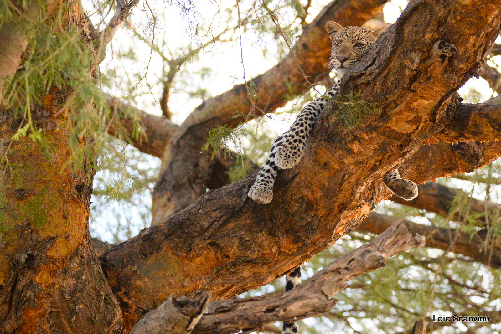 Léopard dans un arbre/Leopard on a tree (5)