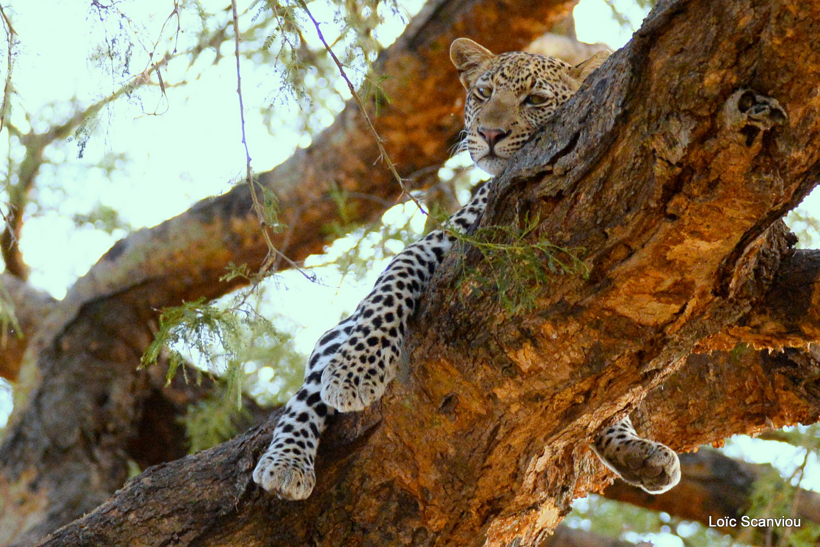Léopard dans un arbre/Leopard on a tree (6)
