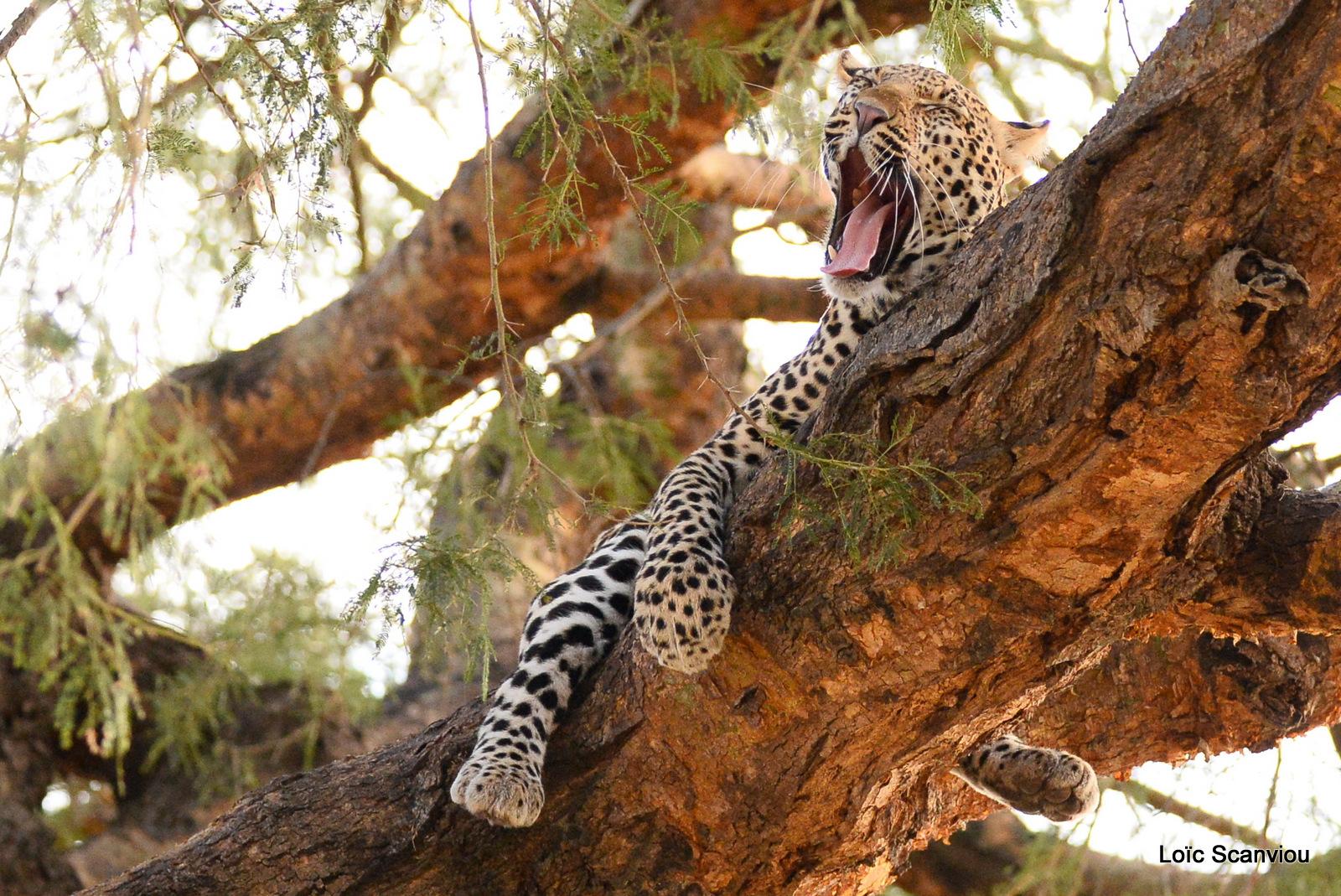 Léopard dans un arbre/Leopard on a tree (7)