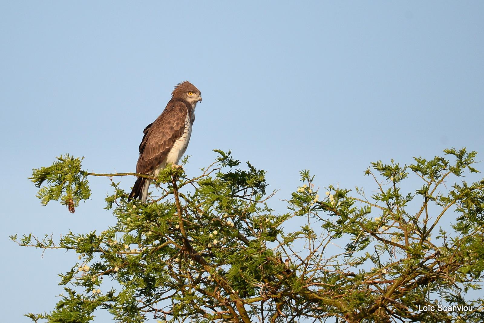 Circaète cendré/Western-banded Snake-Eagle (1)
