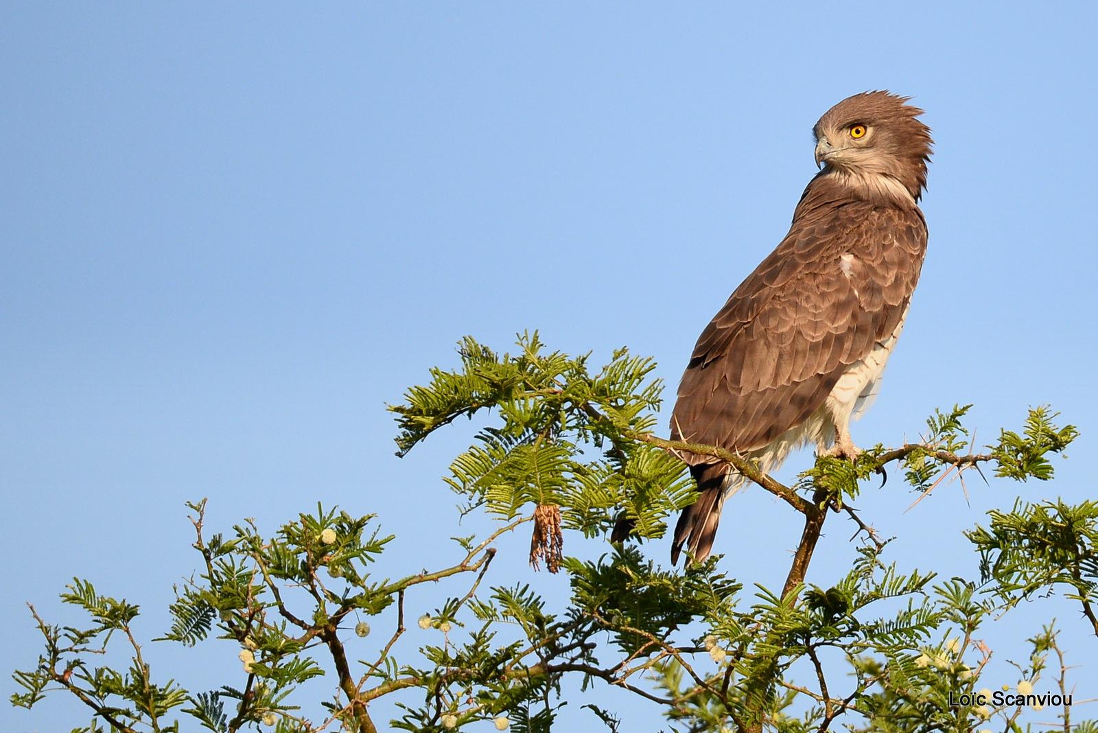 Circaète cendré/Western-banded Snake-Eagle (4)