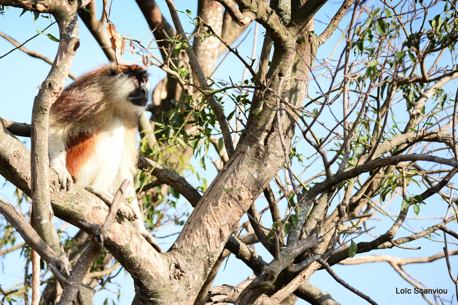 Patas/Patas Monkey (7)
