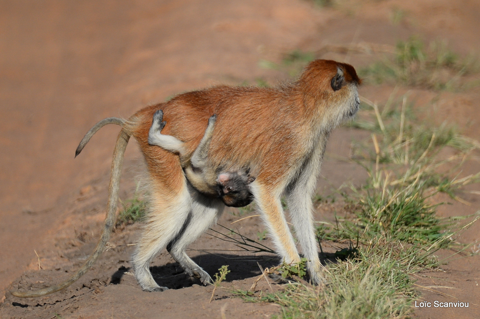 Patas/Patas Monkey (9)