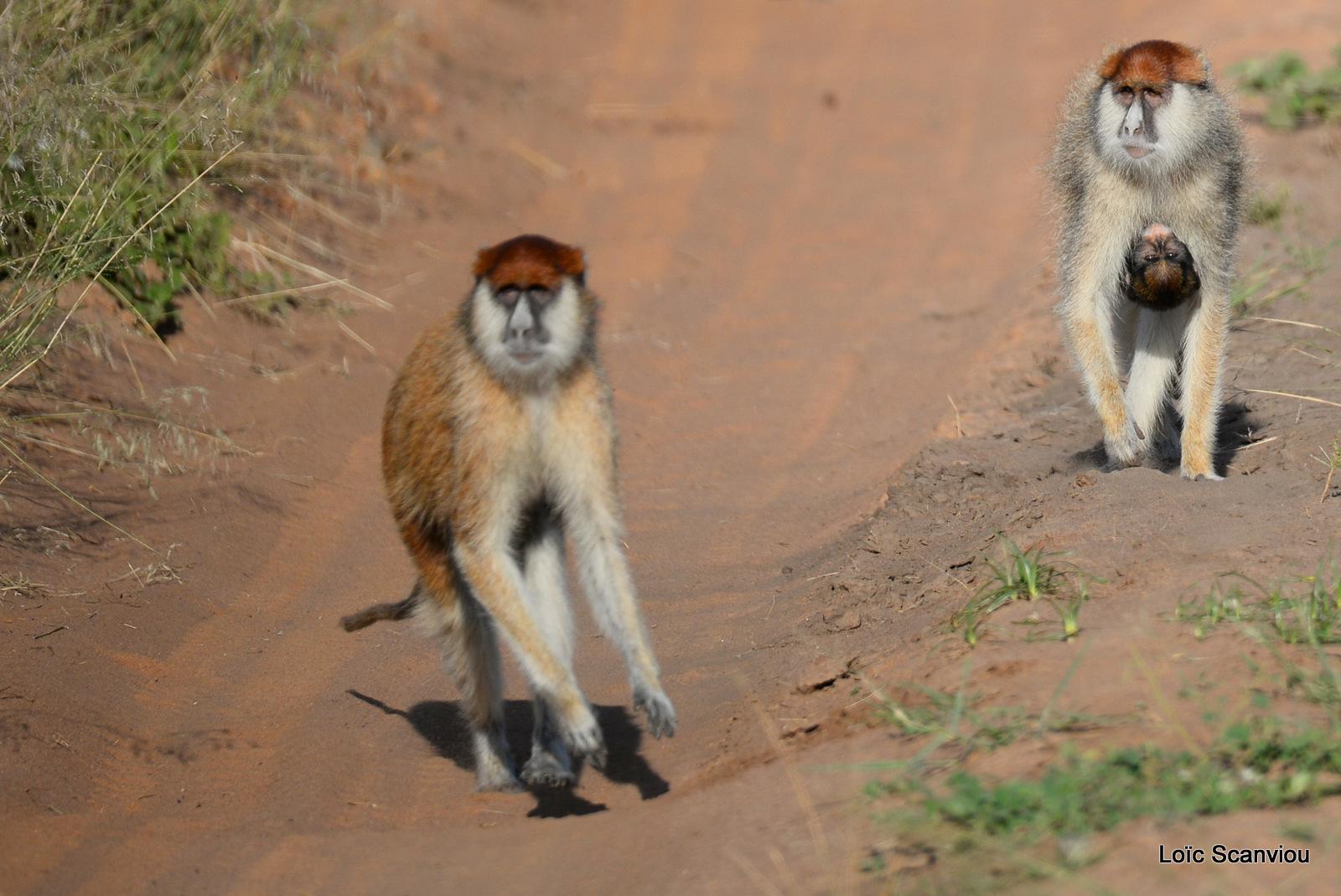 Patas/Patas Monkey (10)