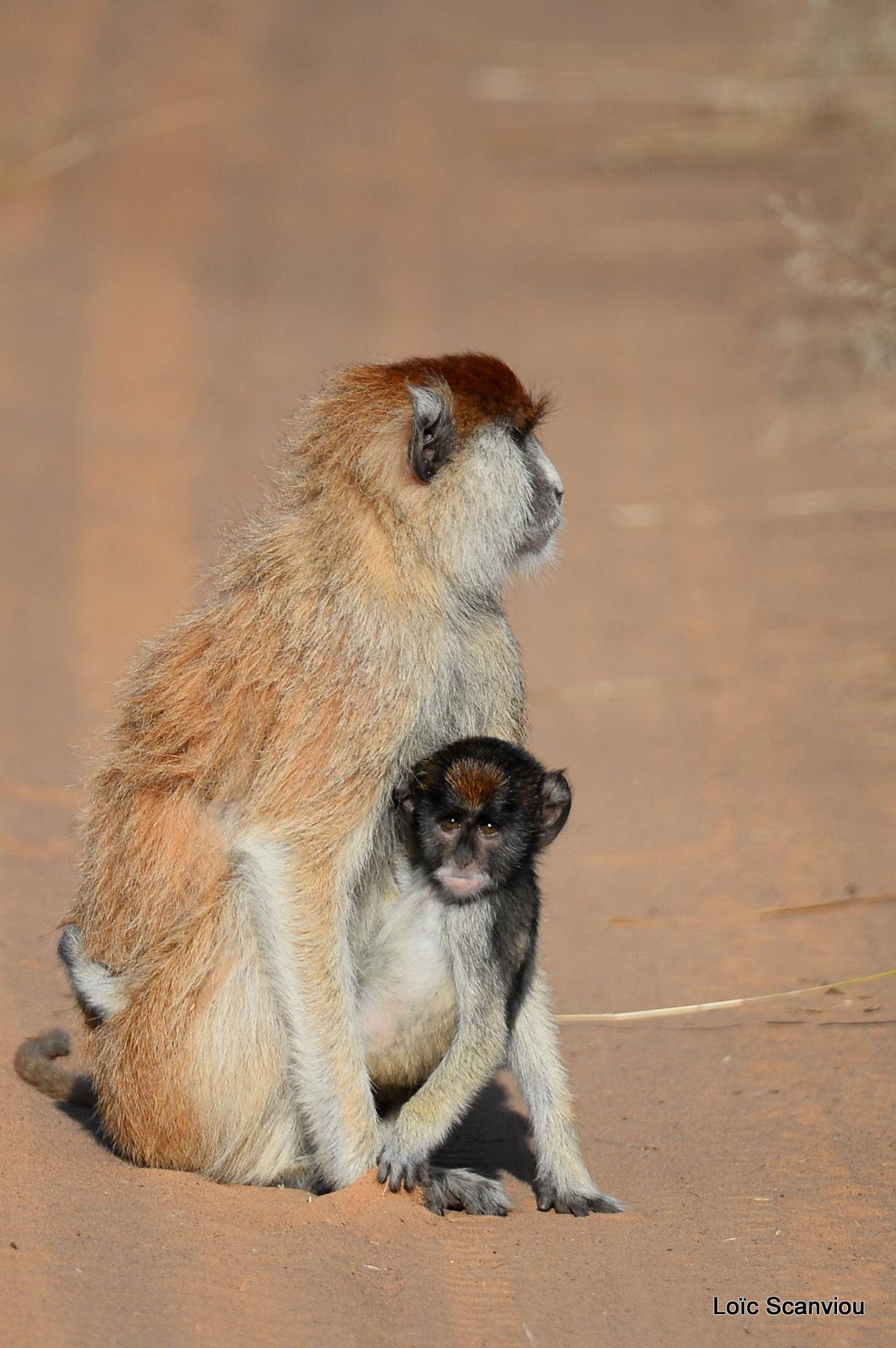 Patas/Patas Monkey (13)
