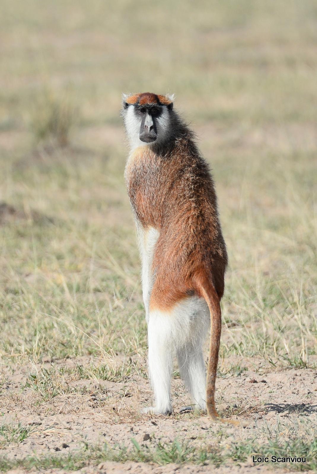 Patas/Patas Monkey (14)