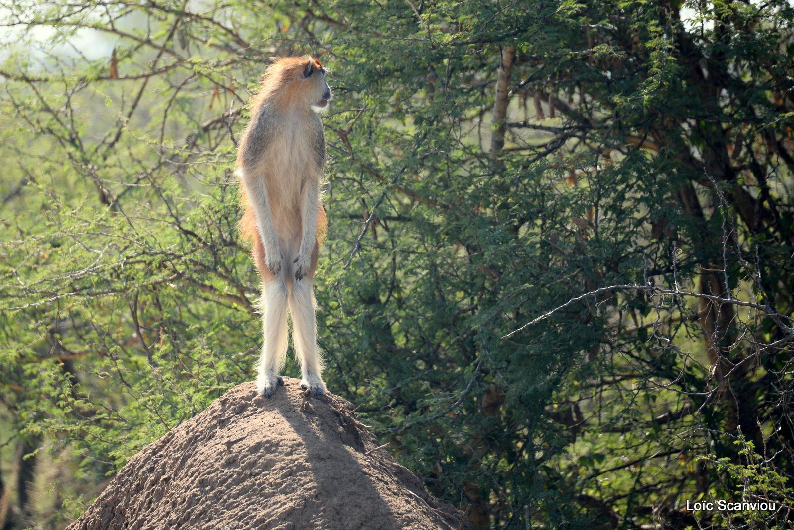 Patas/Patas Monkey (17)